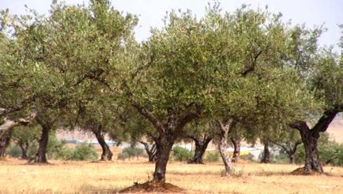Realizar la poda del olivo resulta de vital importancia.
