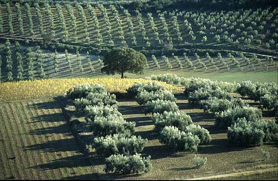 El cultivo superintensivo del olivo se esta extendiendo como método demostrado.