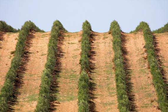 El método superintensivo del olivo se ha comprobado que es eficaz y rentable.