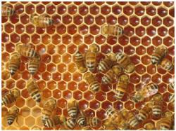 Abejas trabajando en la producción de las mieles